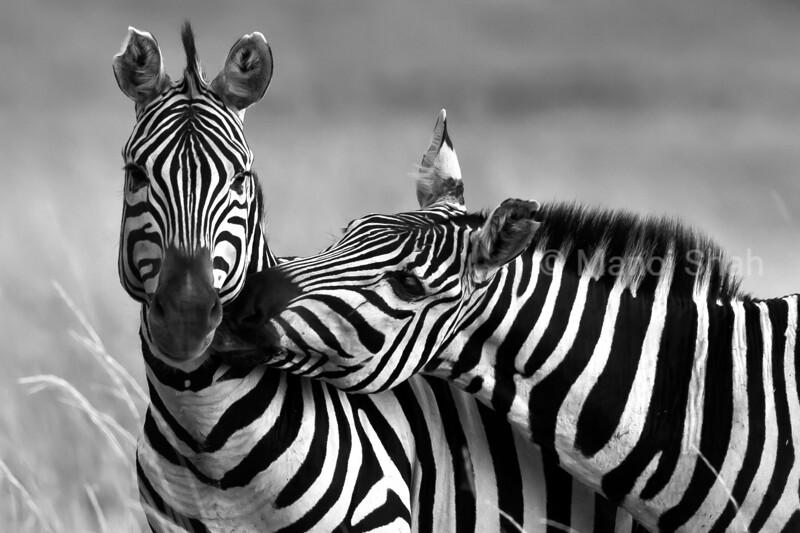 Zebras greeting