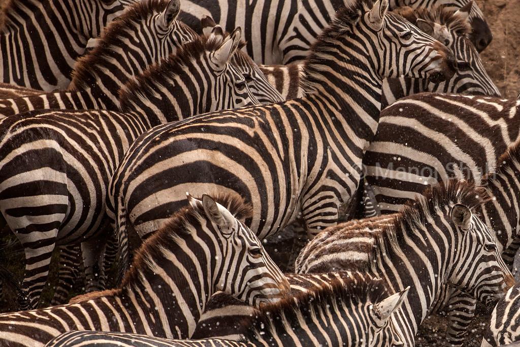 Zebras running across the river