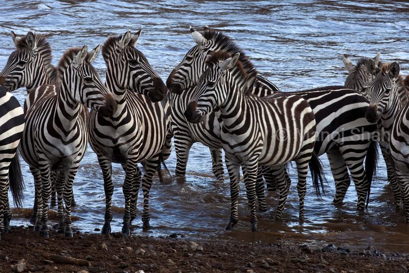 Zebras at river crossing