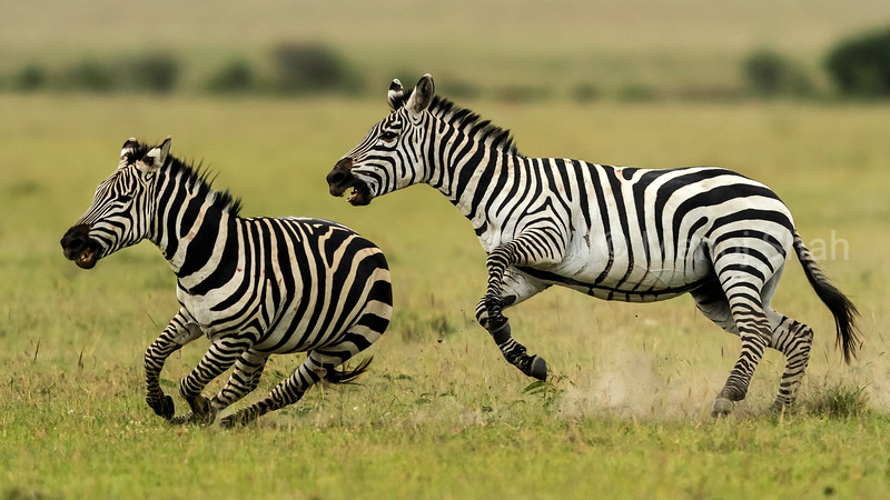 Male zebras running and fighting,