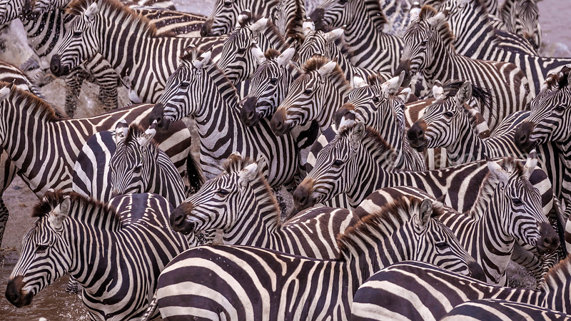 At the Mara River in Masai Mara, the zebras spotted a  crocodile in the water while drinking. In a split second an alarm was raised and they all bolted away.