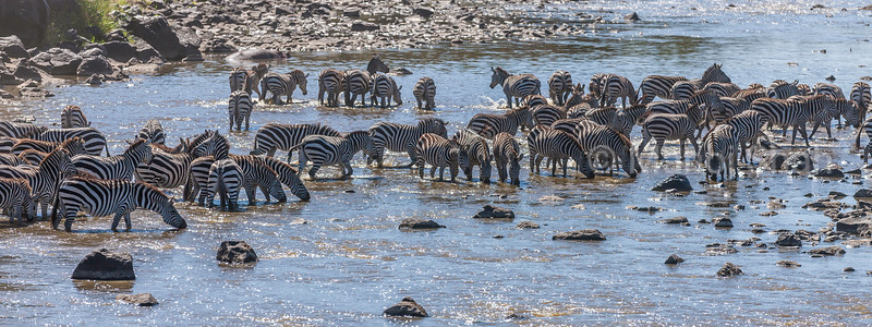 zebra herd at Mara River in Masai Mara.
