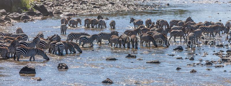 zebra herd at Mara River in Masai Mara.