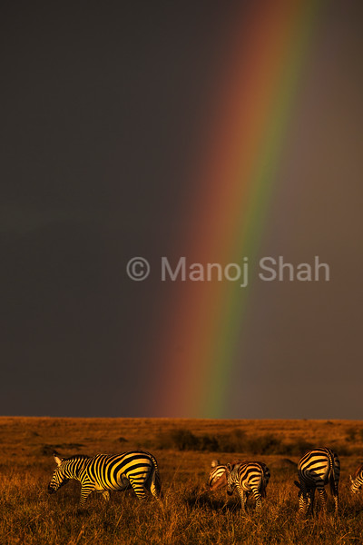 Common Zebras grazing under a rainbow
