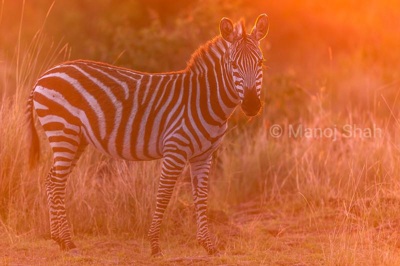 Portrait of a zebra at sunset in Masai Mara.