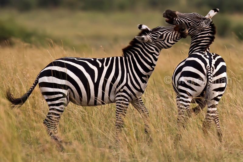 zebras play fighting