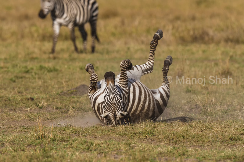 Zebra dusting its back on the ground