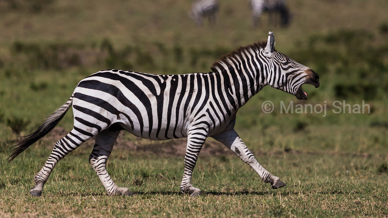 Zebra braying.