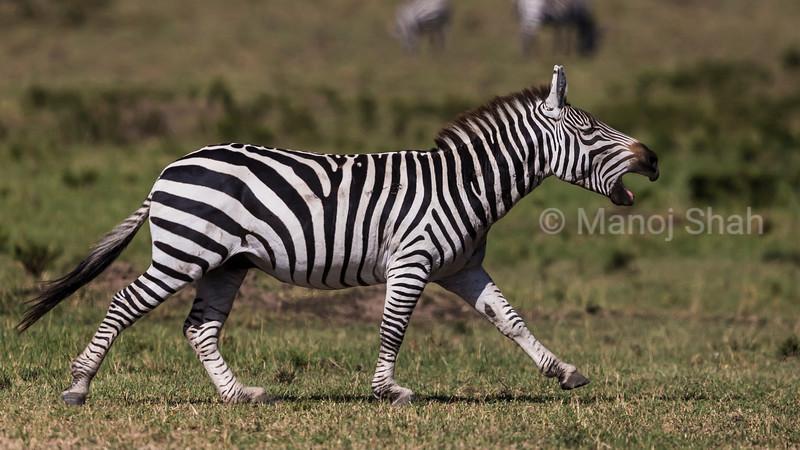 Zebra braying.