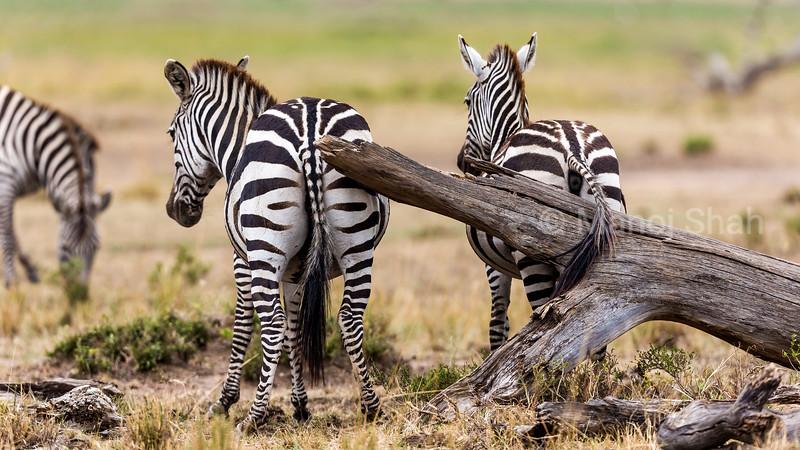 Zebras scratching their behinds agaist a fallen tree log.