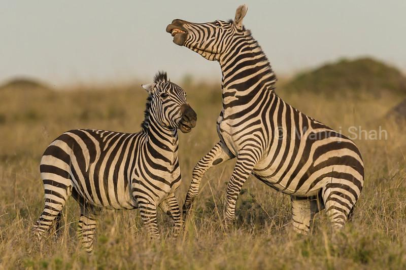 Male zebras in a fighting mood
