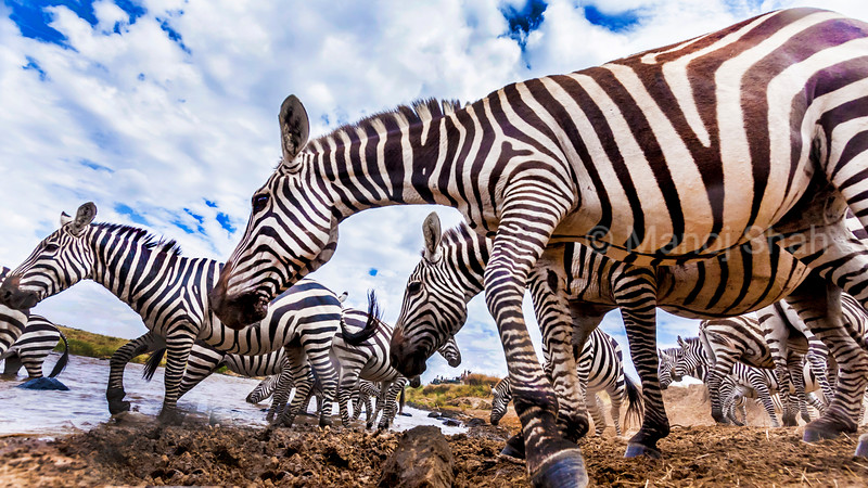 A secretly hidden remote camera captures a herd of Zebras at the river crossing point