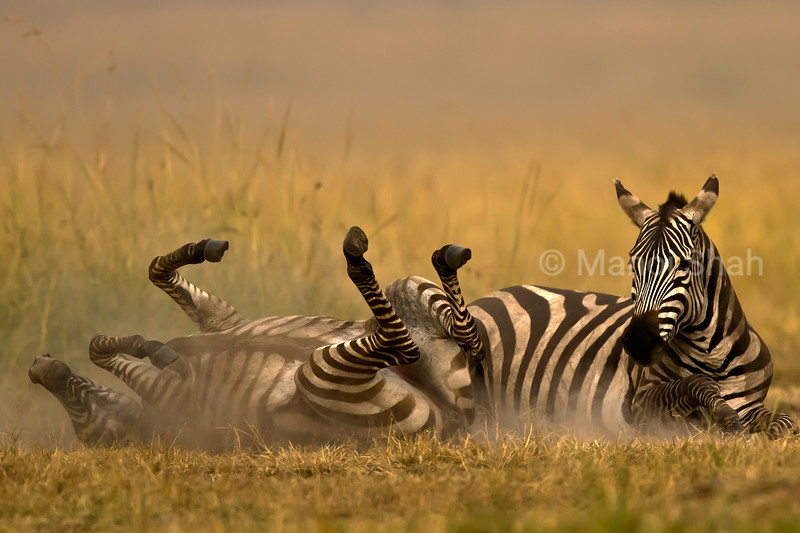 Zebra rolling in dust