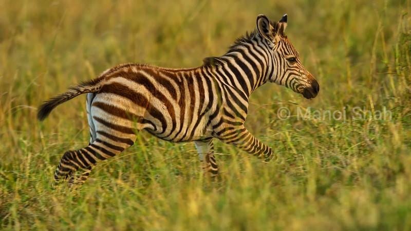 Zebra foal running