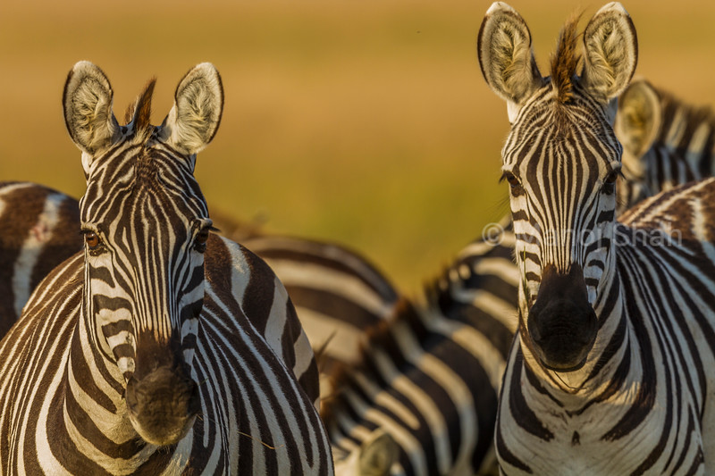 Common zebra portraits in Masai Mara.