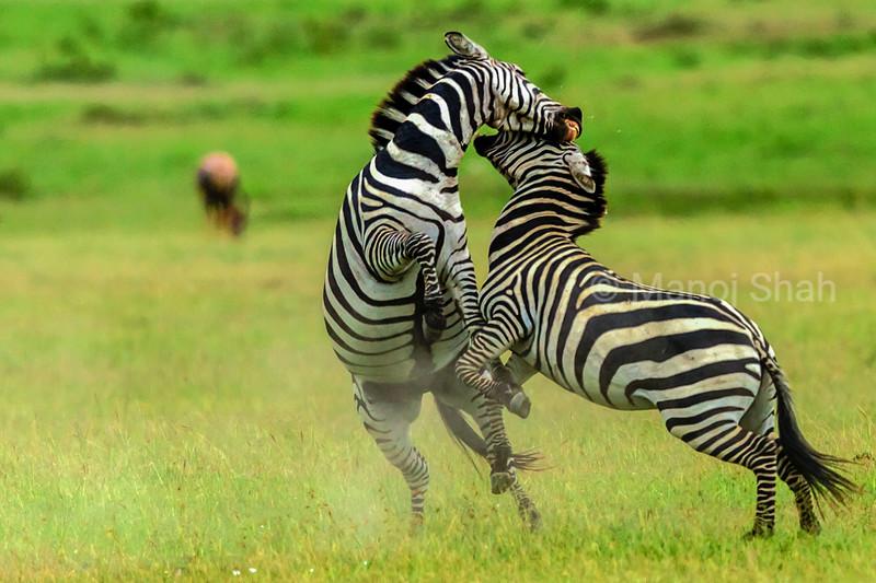 Male Zebras - zebra stallions play fighting - Masai Mara National Reserve, Kenya
