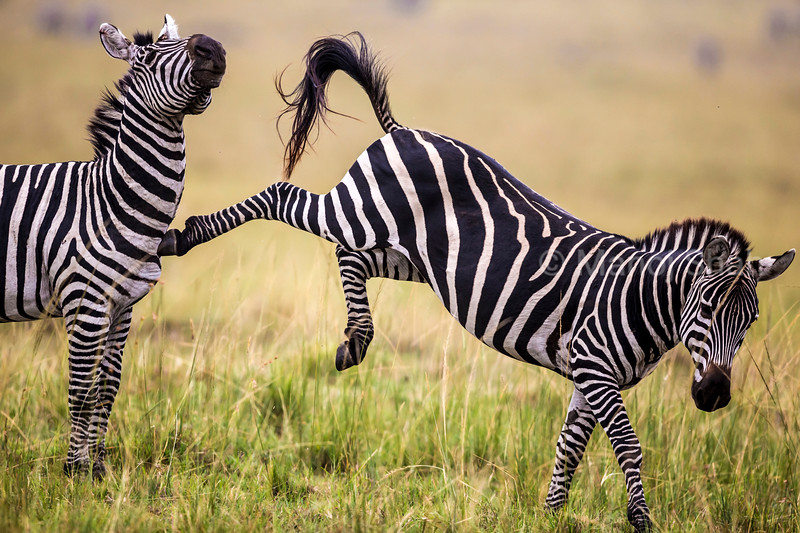 Male Zebra kicking another male warning him to stay away