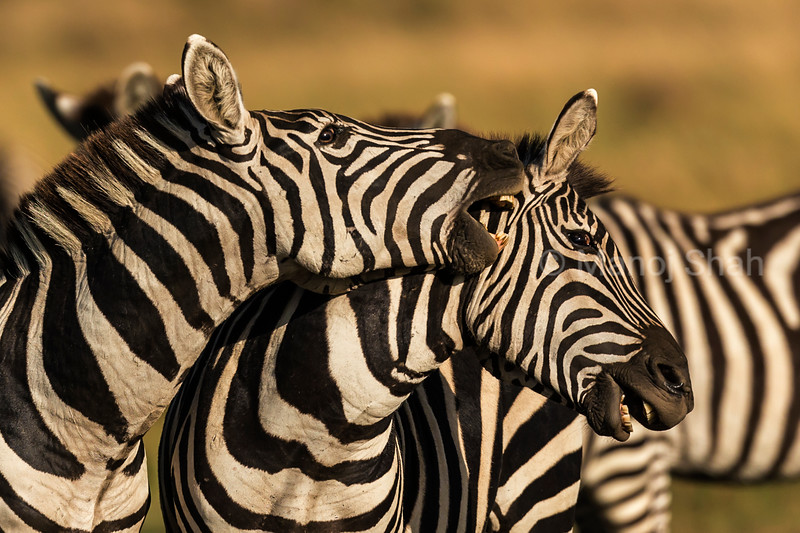 Zebra males in a playfull mood