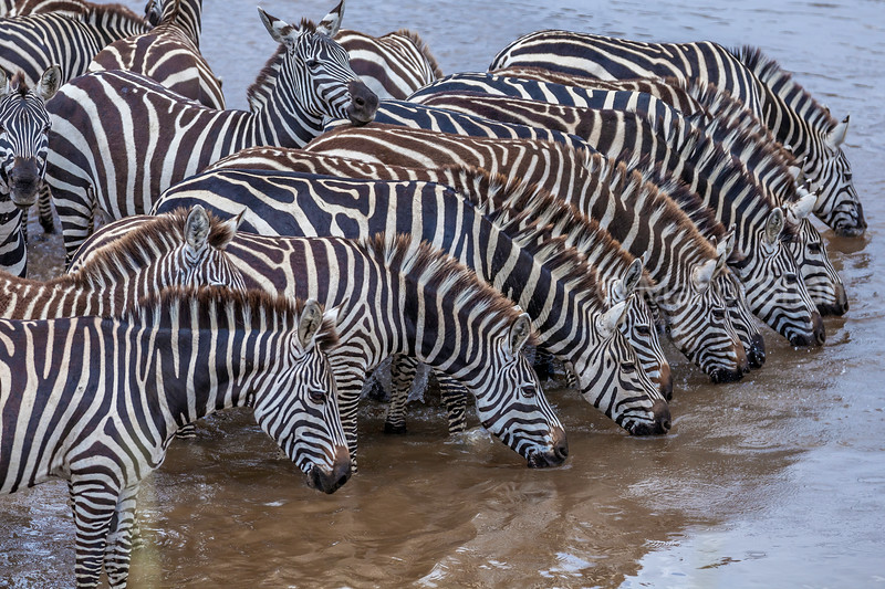 The zebras dring water to quench their thirst before crossing the Mara River in Masai Mara.
