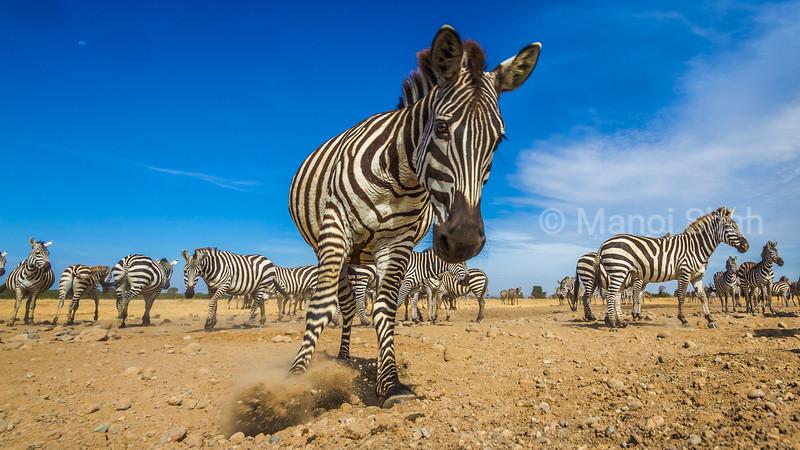 zebra kicking up dust in front of the herd in Laikipia Kenya