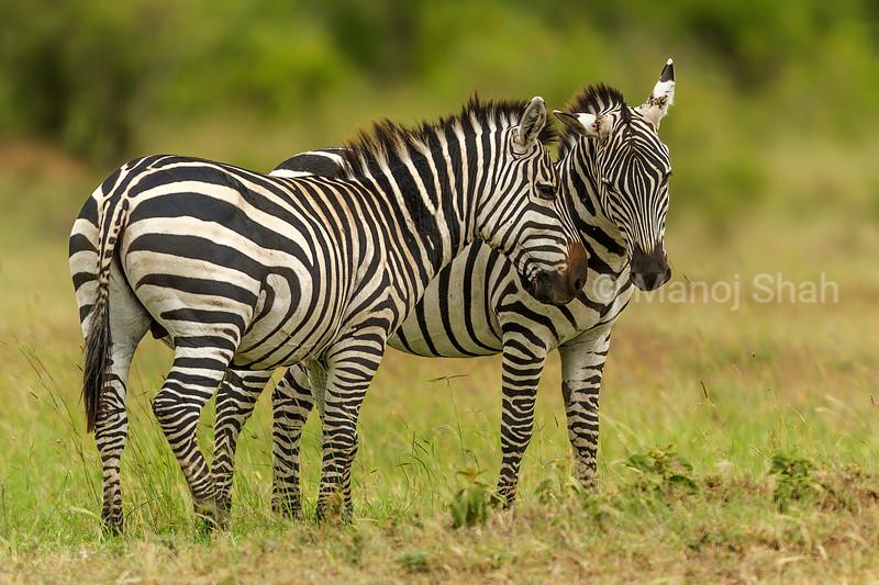 2 Zebra males in a fighting mood in Masai Mara.