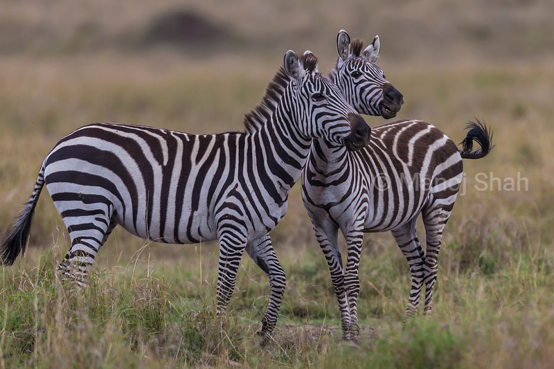 Male Zebras in a playful mood