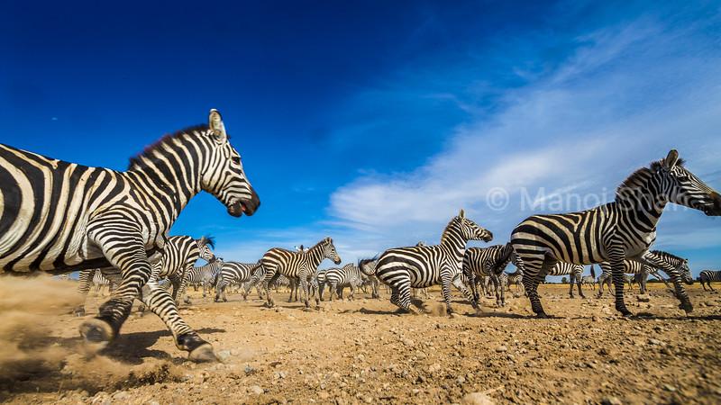 Zebra herd on the move in Laikipia, Kenya