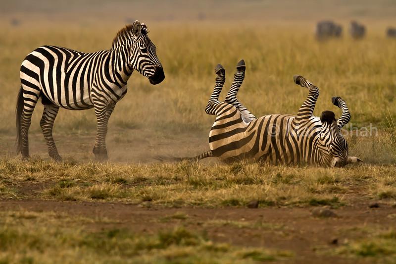 Zebra rolling in dust
