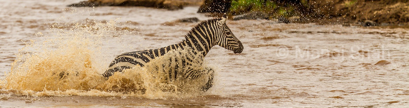 zebra splashing water by running across Mara River in Masai Mara.