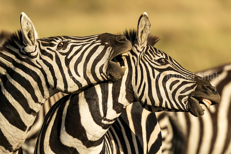 Zebra males in a playfull mood