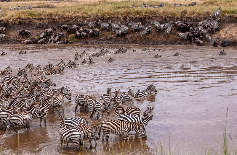After the wildebeest have crossed the Mara River in Masai Mara, the zebras follow suit.