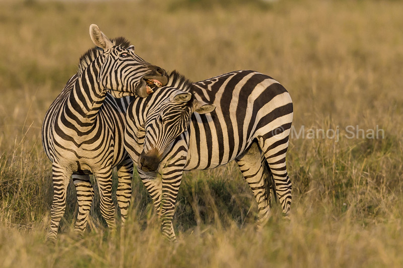 Male zebras in a fighting mood