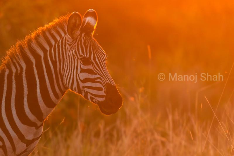 Zebra at Sunset
