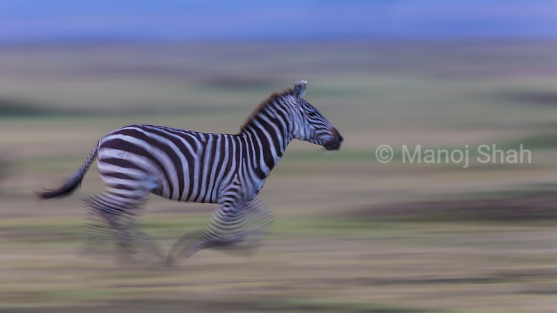 Zebra running with the herd late evening