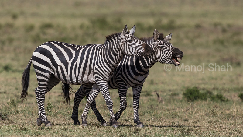 Zebras braying.