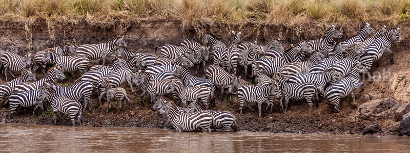 Having crossed the Mara River in Masai Mara, the zebras start exiting to the plains on the opposite side of the river.