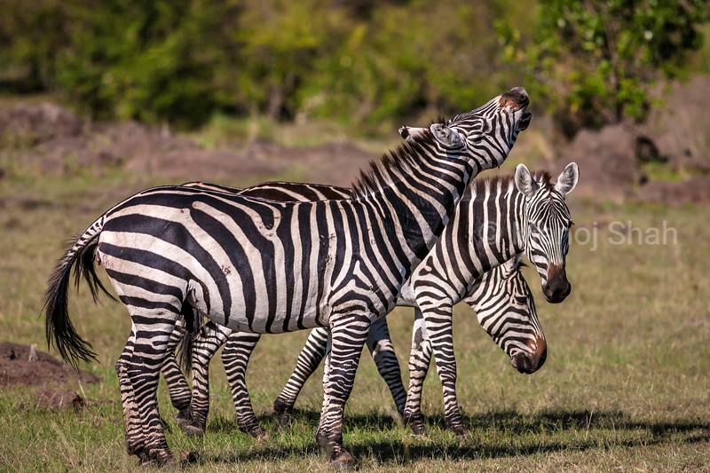 Burchell's Zebra smelling the environment air of Masai Mara Savannah.