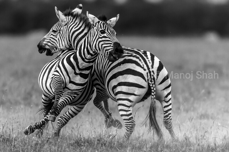 Male Zebra fighting another male and both of them going round in circles