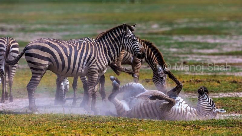 Zebras in dusting ritual in Amboseli National Park, Kenya
