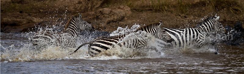 Zebras running in river
