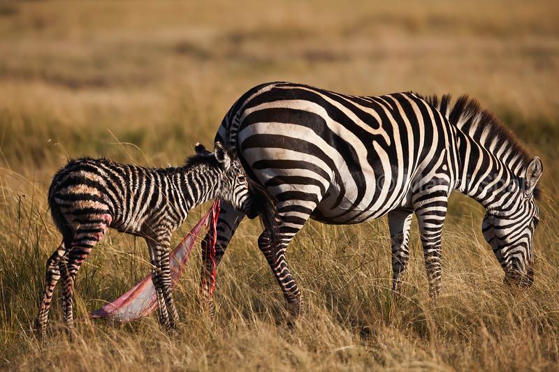 Zebra  and new born baby