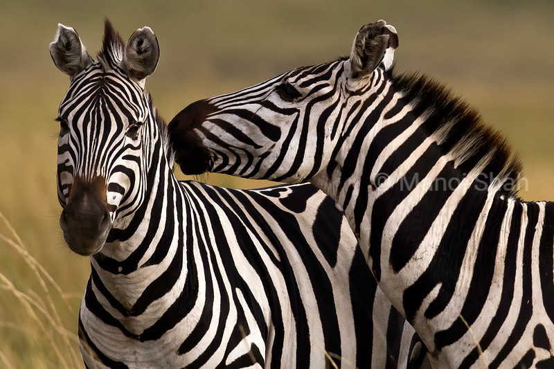 Zebras greeting