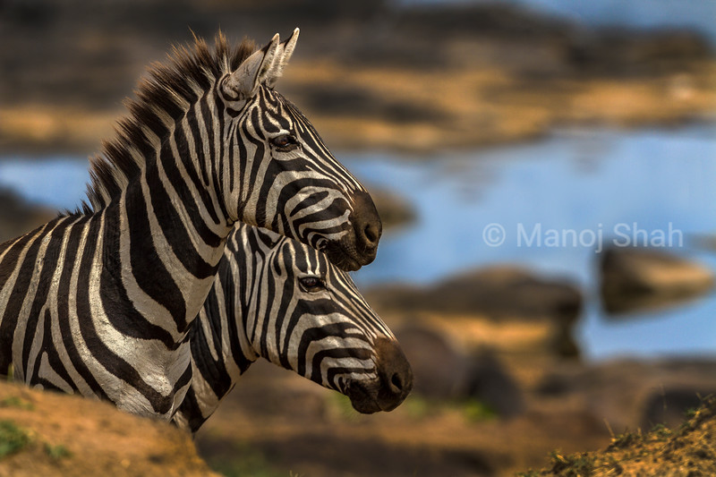 zebras approaching river crossing point in Masai Mara.