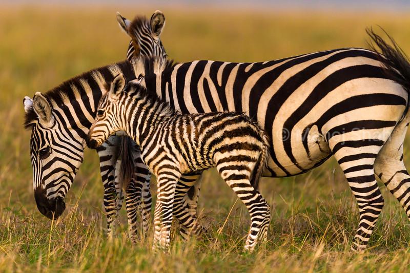 Zebra baby watching mother graze in Masai Mara plains.