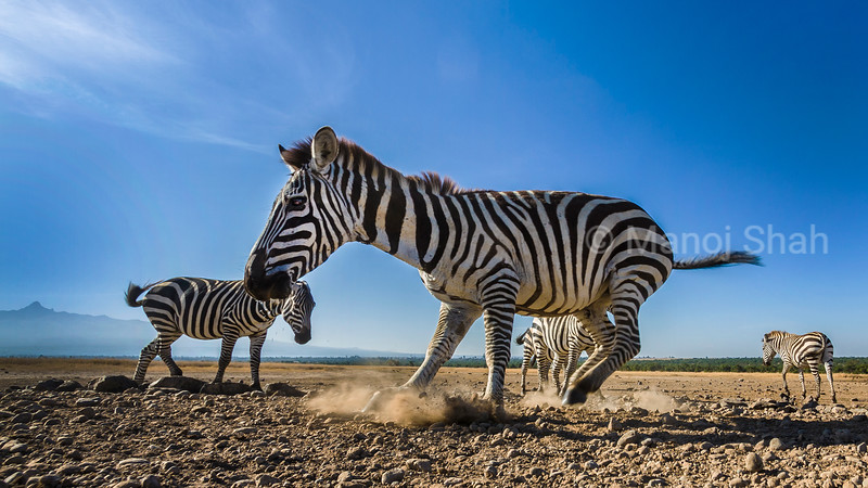 Zebra herd on the move in front of mount Kenya in Laikipia, Kenya