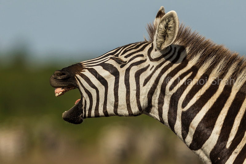 Male Zebra calling