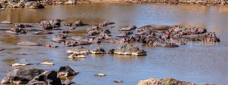 Hippos laying in Mara River, Masai Mara