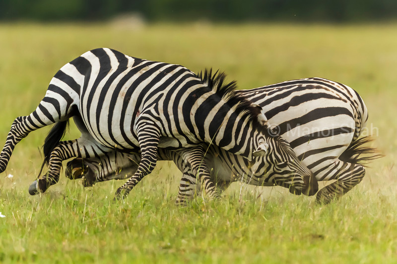 Male Zebras biting each others legs