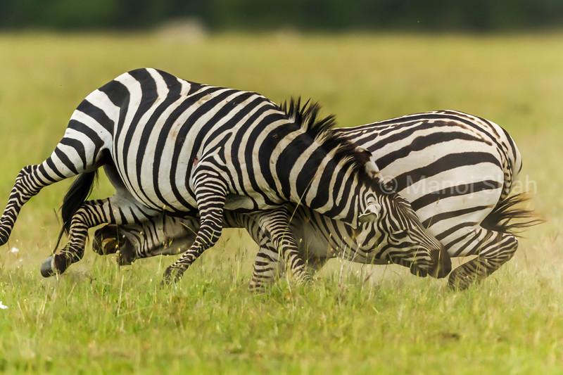 Male Zebras biting each others legs