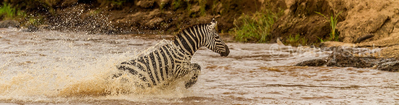 zebra splashing water by running across Mara River in Masai Mara.